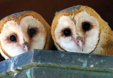 Young Barn Owls