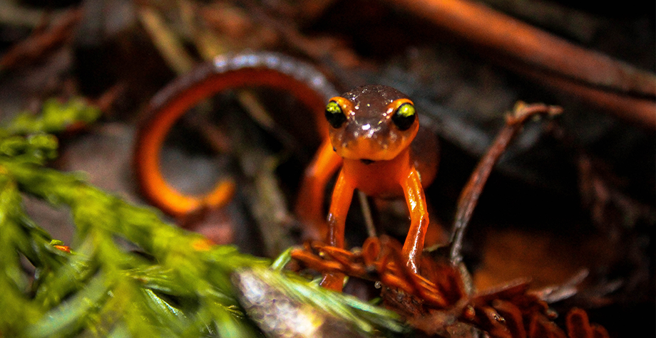 A Newt takes a peek at the camera