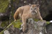 Mountain lions need lots of territory to roam.