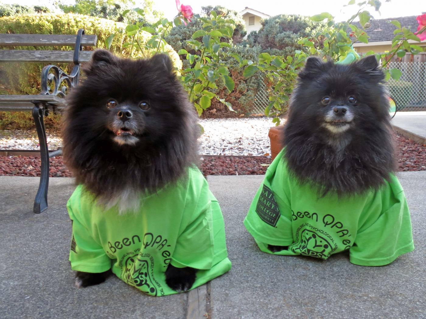 Therapy dogs Oscar and Joey sporting their QPR t-shirts.