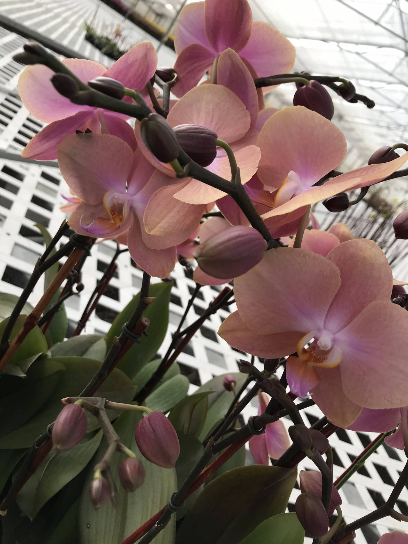 <p>Beautiful orchid from Rocket Farms Nursery</p>