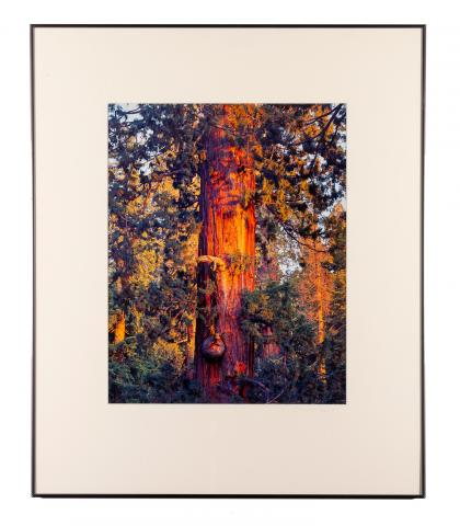 Christopher Burkett (b. 1951) United States, Old Sequoia at Sunset, 1996, Cibachrome print, College purchase [97.9]