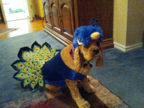 "Gracie ""Peacock"" Centurioni. Can we make this furry Gael an honorary alum?"