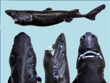 The Holotype specimen of the new Ninja Lanternshark Etmopterus benchleyi, collected off the Pacific coast of Central America in 2010.