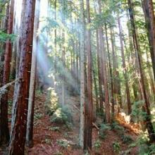 Redwoods in Canyon, just outside present-day Moraga
