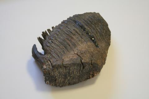 A woolly mammoth tooth we photographed in SMC Professor Rebecca Jabbour's office.